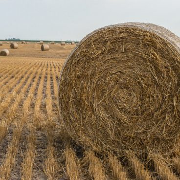 Wheat straw bale