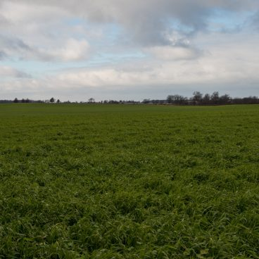 cover crop field